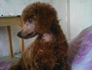 милый пуделек срочно продам ! пуделек 3 месяца, с родословной, мед паспорт., Ангарск - Продажа собак,  щенков