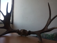 Астрахань: продам рога лося продам рога лося. масса 8, 3 кг. 10 отростков (4+6). Размеры 105 х 75 см.   во