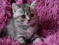 Балаково: британские котята в Балаково родам британских котят (возраст 1 месяц возможен резерв)    мальчики и девочки,     золотистые и серебристые окрасы .