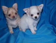 чихуахуа щенки в Балаково продам кремового кобелька чихуахуа.   крошка собачка размером с кошку.   возраст малыша 1. 5 месяца.   есть и короткошерстны, Балаково - Продажа собак,  щенков