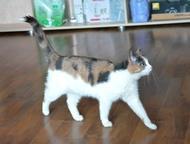 Отдам ласковую трехцветную кошку Пристраивается в добрые руки, в квартиру, юная (1 год) трехцветная кошка Маришка. Кастрирована.   Ходит в лоток с нап, Екатеринбург - Отдам даром