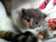 Гатчина: Котенок ищет дом Маленькая малышка ждет хозяина и новый уютный уголок.