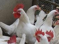 Энгельс: Продаю цыплят Леггорн Вылупились 2 апреля, 50 руб/штука, до 10 дневного возраста, старше подороже  Принимаю заявки на последующие выводки.     Куры по