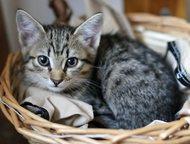 Кемерово: Отдам гладкошерстного котенка Отдам котенка-девочку заботливым и ответственным людям.   Игривый, забавный, самостоятельный котенок.   Окрас табби (кор