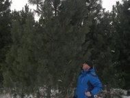 Красноярск: Продажа Саженцев Наша компания Сибирский Питомник осуществляет розничные и оптовые продажи саженцев. В наличии имеются саженцы Кедра, Ели, Сосны, Лист