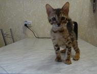 Красноярск: Бенгальские котята Продаются бенгальские котята. От титулованных родителей. Ласковые, игривые, кушают самостоятельно, приучены к когтеточки и горшку,