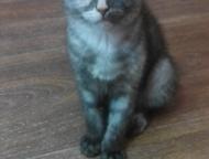 Красноярск: Британские котята Замечательные котята родились 27 января (нам уже 2, 5 мес). Остался 1 мальчик, будущий футболист, очень любит гонять мяч и 2 девочки
