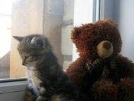 Красноярск: Малышка Курильский бобтеил,девочка Продам котенка, курильского бобтейла! Осталась девочка родилась 11 марта , мальчишек разобрали как горячие пирожки)