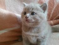 плюшевые медвежатки продам красивых котят . цвет лиловый. котята крупные. остались 2 мальчика., Магнитогорск - Продажа кошек и котят