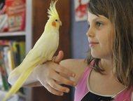 Приютим вашу птичку и окружим заботой и любовью Приму в дар самку какаду желтохохлую, розелла и самца какарика, для создания пар . Так же беру корелл,, Москва - Птички, клетки