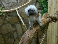 Тамарин Эдипов Пинче продам Продам Здиповых тамаринов. Это обезьянки небольших размеров. Очень красивые, белый хохолок на голове придаёт им некий шарм, Москва - Другие животные