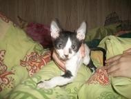 Саратов: продаю котенка корниш-рекс продаю котенка корниш-рекс, родился 1 марта 2016 года, приучен к лотку, цвет черный биколор