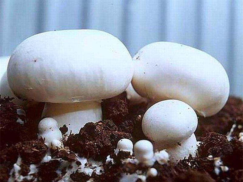 Как сажать грибы шампиньоны 21