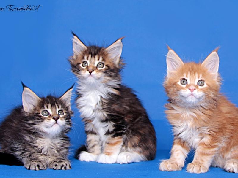 Котята мейн кун фотографии