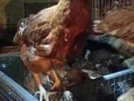 Курицы-несушки породы Хайсекс Браун Продаются курицы-несушки красные породы Хайсекс Браун. Количество ограничено. Имеют высокую яйценоскость. Возраст , Набережные Челны - Птички, клетки