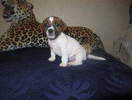Новый Уренгой: Продам щенков Джек рассел терьера Помет 4 щенка, дата рождения 06. 10. 2015 г. Остались 2 девочки красавицы. Прививки будут делаться в 2 месяца. Все д