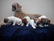 Продам щенков Джек рассел терьера Помет 4 щенка, дата рождения 06. 10. 2015 г. Остались 2 девочки красавицы. Прививки будут делаться в 2 месяца. Все д, Новый Уренгой - Продажа собак,  щенков