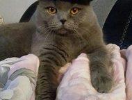 Шотландский кот ищет шотландскую кошку для случки Шотландский кот ищет шотландскую кошку для случки., Прокопьевск - Вязка кошек (случка)