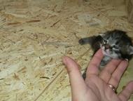 Котята отдам Отдам котят, родились 19 марта, Сургут - Продажа кошек и котят