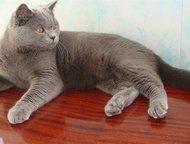 Британец приглашает кошечек на вязку Шикарный молодой чистокровный британец , голубой окрас , привитый , котику один год приглашает невесту на вязку ., Тольятти - Вязка кошек (случка)