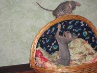 Тольятти: Милые котята Донского сфинкса Продаются котята-мальчики. родились 10 ноября 2015. Славные малыши крепыши, к лотку приучены, когтеточку знают, родители