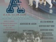 Тула: Щенки Джек Рассел терьера Продаются три очаровательных девочки: Litter A   Рождены 08. 02. 2016 документы РКФ   Полностью привиты, чипированы, клейм