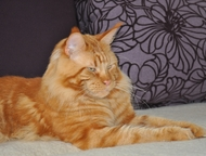 Мейн-кун котята, Профессиональный питомник, Монопородный питомник мейн-кунов г. Белгород, предлагает котят в отличном. современном породном типе, от т, Тула - Продажа кошек и котят
