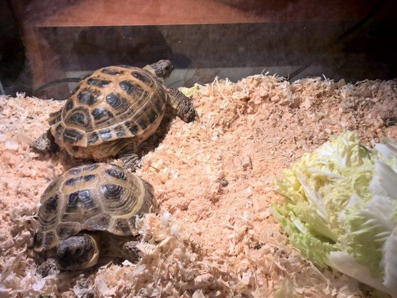 Сухопутная черепаха в домашних условиях возраст