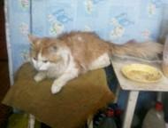 Златоуст: отдам кота отдам сибирского кота 4 мес. в добрые руки. К туалету приучен.